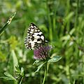 Papillon68