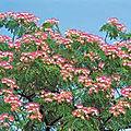 🌳 arbre ombrage: albizia par paysagiste pays basque et paysagiste landes