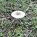 Macrolepiota procera