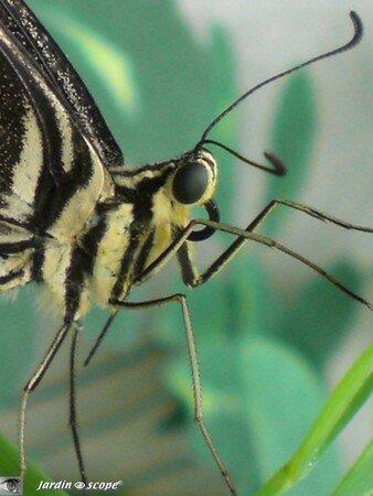 Papilio demodocus • Papilionidae • Kenya
