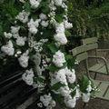 arbuste blanc