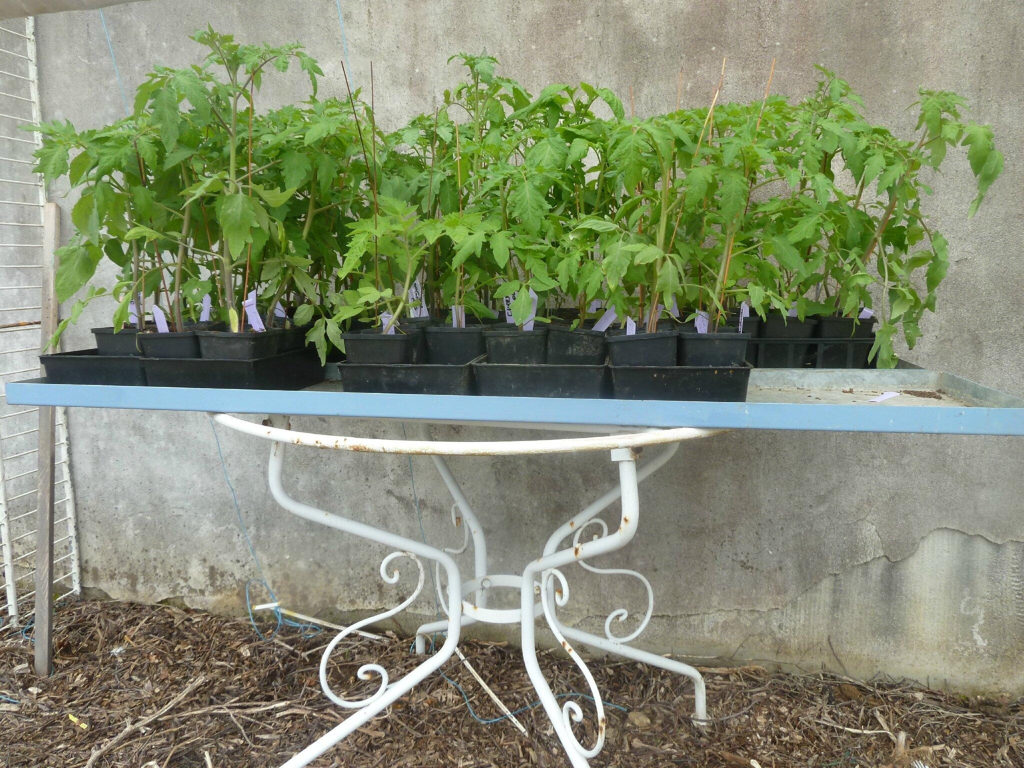 4-tomates et abri (4)