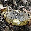 Lactarius plumbeus (2)