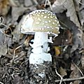Amanita pantherina (5)