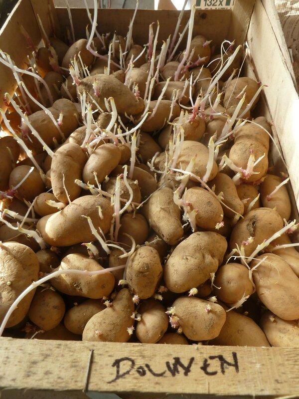 16-épichonnage des patates (7)