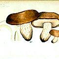 123 Lactarius scrobiculatus refait mai 1893