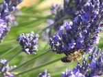 lavande_abeille