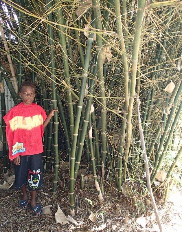 photo 2- Ericson IAPHUT pres de Bambusa aff indigena