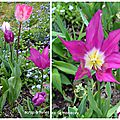 mosa tulipes