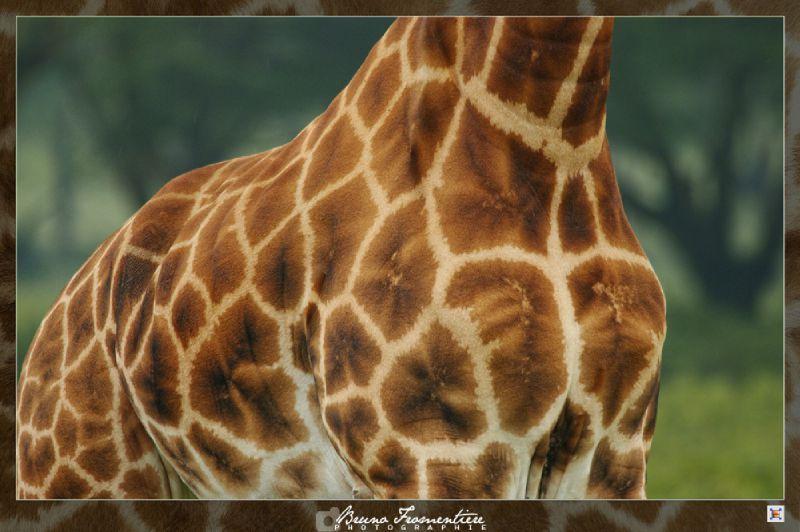 Saucisson de girafe 2