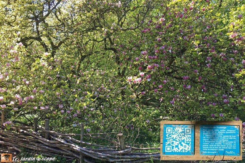 Magnolia de Soulange • Magnolia x soulangeana