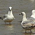 Goélands sur la plage à st coulomb(35)