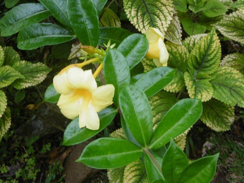 allamanda jaune