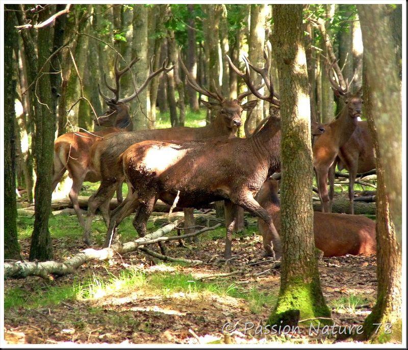 Le brame du Cerf 2009 en forêt de Rambouillet (9)