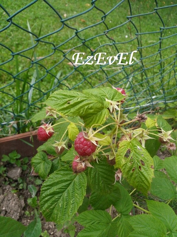 quoi de neuf au jardin 3 EzEvEl