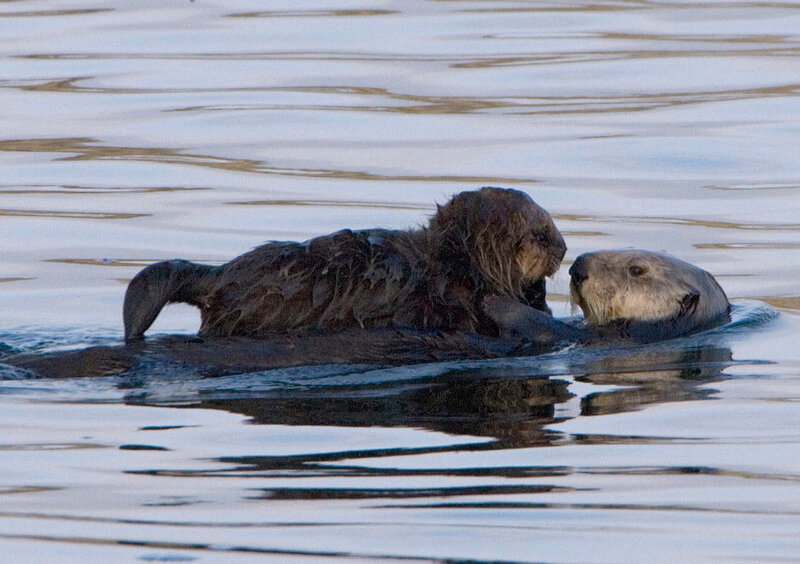 1024px-Sea-otter-with-pup-morro-rock