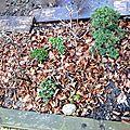 Interlude au jardin - mi mars c'est... la sortie des bonsaïs