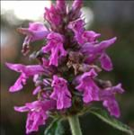 stachys-officinalis