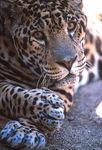 amazon_jaguar