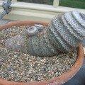 Sympa la forme du cactus... (Mammillaria sp.)