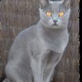 Naissance de chatons chartreux