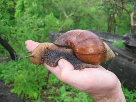 giant-west-african-land-snail