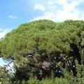 Pin parasol géant Pinus pinea