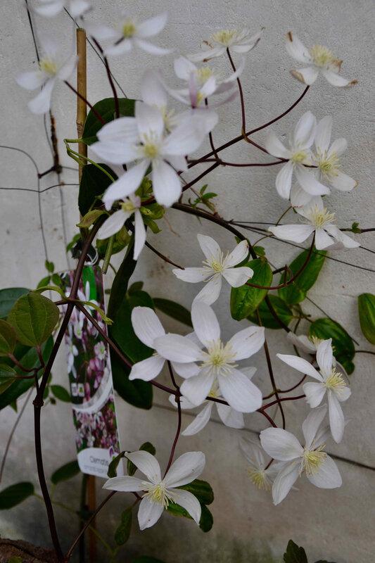 fleurs blanches - 1