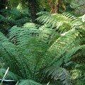 Fougère arborescente pteridophyte - Nvlle Zélande