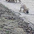 chiots SUd BT maman tuée frère mort de faim