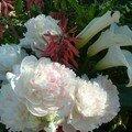 Pivoines blanches et arômes