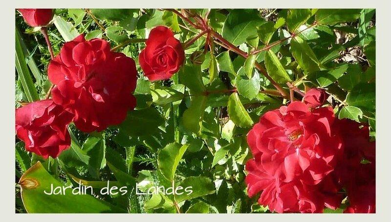 rosier rotilia 2
