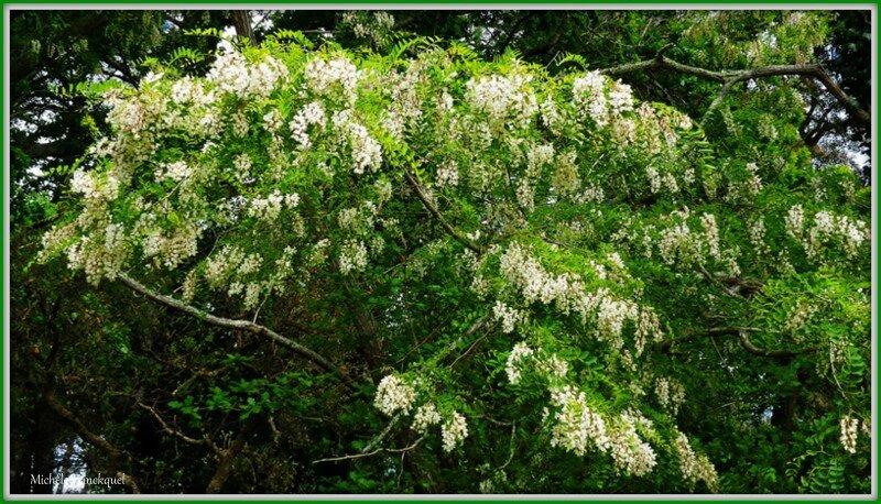 Fleurs d'Acacia 0605152
