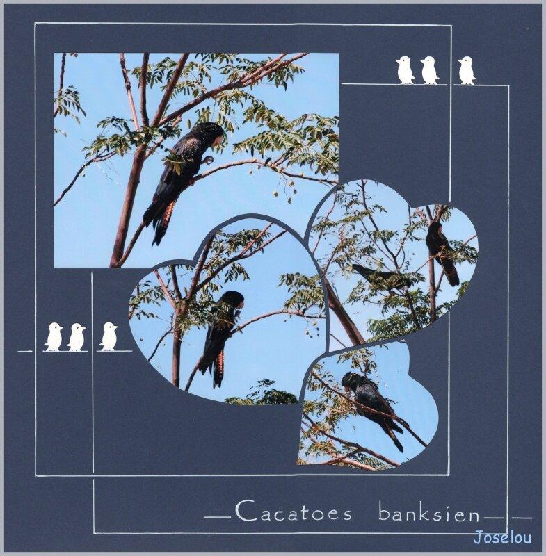 Cacatoes banksien 1