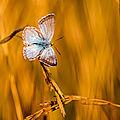 papillon mont césar60