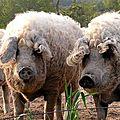 Porc laineux