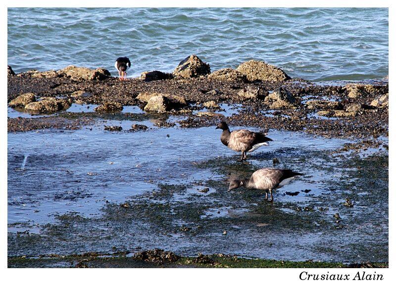 les Bernaches cravant au bord de mer