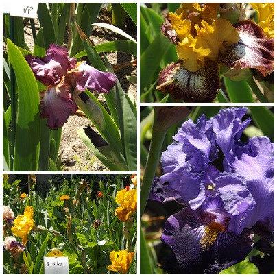 Iris du B 2 (18)