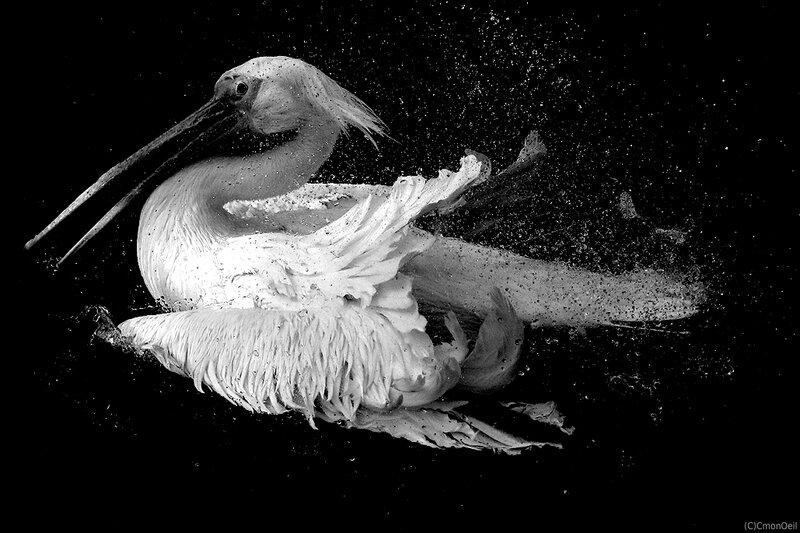 pelican4