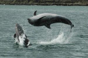 bottlenose-dolphins-west-cork