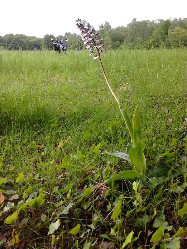 orchidée sauvage_20170517_202739