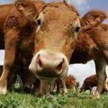Vaches à lait ruminantes...