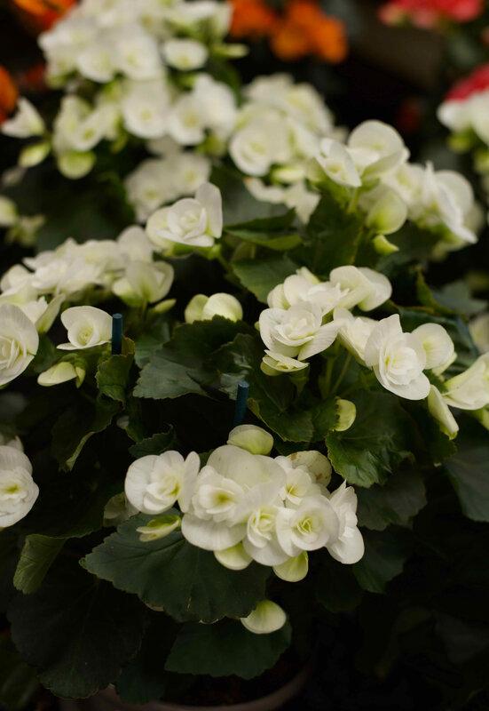fleurs blanches juin 2020 2 - 1