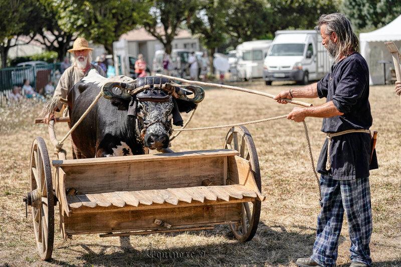 Reconstitution historique d'une moisson au vallus dans le village Gaulois de Saint Saturnin du Bois (7)