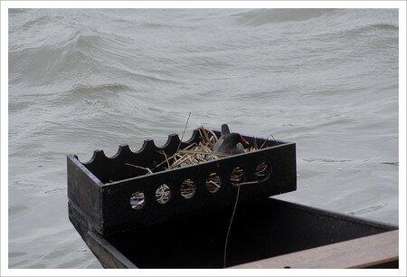QM_poule_eau_nid_bateau_160308