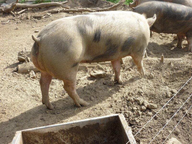 un gros cochon .