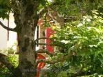 le rouge-queue (2)