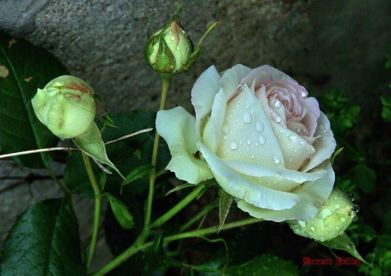 20150611_nature_flore_rose__12_redimensionner