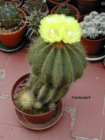 Notocactus_magnificus_fleurs