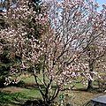 Magnolia for ever .....